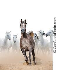 Arabian horse mare and white horses herd