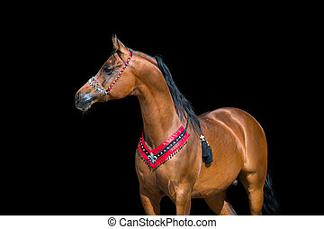 Arabian horse portrait on black