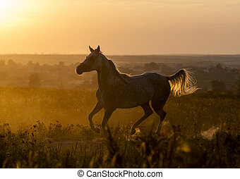 Arabian horse running in the backlight of sunset