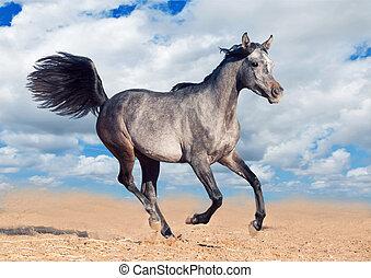 arabian horse runs gallop