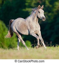 Arabian horse runs on green backgro