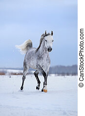 Arabian horse runs on snow field. - Arabian gray horse runs...