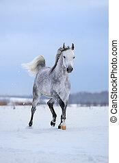 Arabian horse runs on snow field. - Arabian gray horse runs...