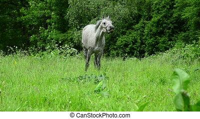 Arabian horse stallion noun - Arabian horse stallion...
