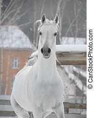 arabian horse - white arab horse
