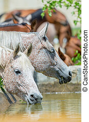 Arabian horses drinking water