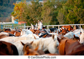arabian horses in stud