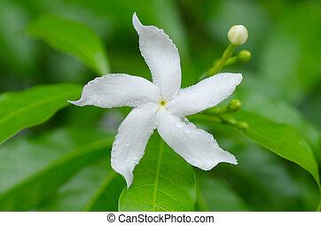 Arabian jasmine, Sampaguita jasmine