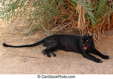 Arabian leopard (Panthera pardus ni - Here in rare black...