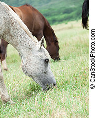 arabian mares at the pasture