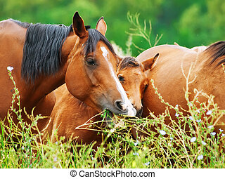arabian mares at the pasture with foal