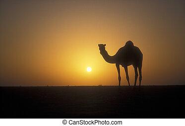 Arabian or Dromedary camel, Camelus dromedarius, single...