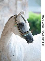arabian stallion in traditional show halter