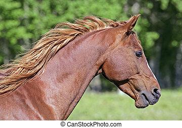 Arabian Stallion - Arabian Horse, chestnut Stallion,...