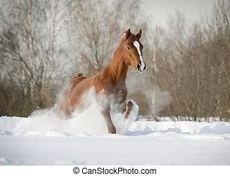 arabier, hengst, sneeuw