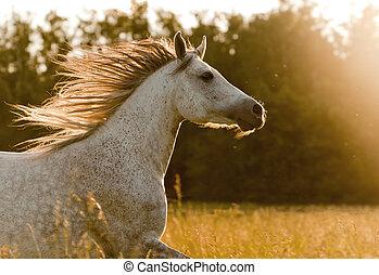 arabier, paarde, in, ondergaande zon