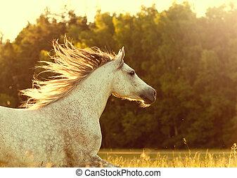 arabier, paarde, ondergaande zon