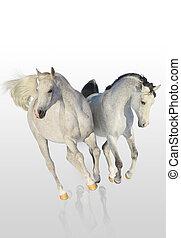 arabier, paarden, twee