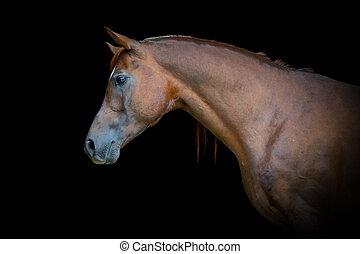 arabisch, bellen pferd, porträt, auf, schwarzer hintergrund
