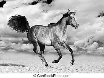 arabisch, läufe, galopp, pferd