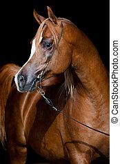 arabisch paard, op, donkere achtergrond
