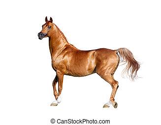 arabisch paard, vrijstaand, kastanje, expressief, witte
