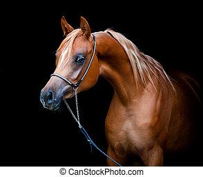 arabisch paard, vrijstaand, op, black
