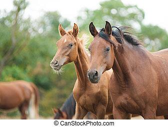 arabische pferde