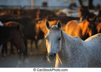 arabische pferde, in, stiftschraube
