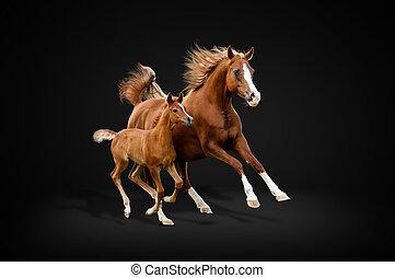 arabisches pferd, auf, schwarz