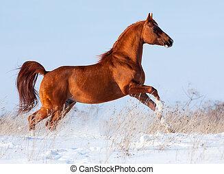 arabisches pferd, läufe, in, winter