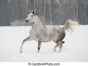 arabo, cavallo, in, inverno