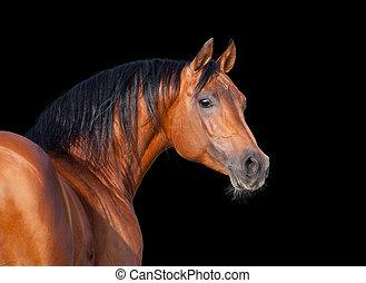 arabo, isolato, cavallo