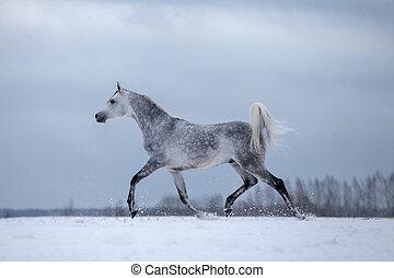 arabski koń, na, zima, tło