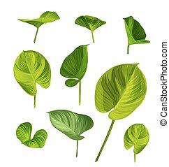 araceae, 葉, セット