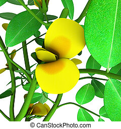 """The peanut or groundnut (Arachis hypogaea) is a species in the legume or """"bean"""" family (Fabaceae). The peanut was probably first domesticated and cultivated in the valleys of Paraguay.[1] It is an annual herbaceous plant growing 30 to 50 cm (1.0 to 1.6 ft) tall. The leaves are opposite, pinnate with..."""