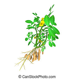 The peanut or groundnut is a species in the family Fabaceae. The peanut was probably first domesticated and cultivated in the valleys of Paraguay. It is an annual herbaceous plant growing 30 to 50 cm tall.