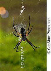 Arachnid Argiope - Argiope, a orb web spider, sits on its...
