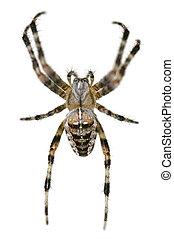 common british garden spider on white