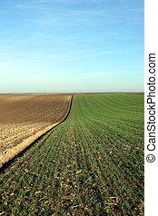 arado, y, trigo verde, campo, agricultura
