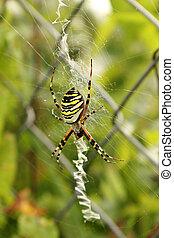 araignée guêpe, bruennichi), web.(argiope