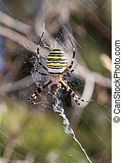 araignée guêpe