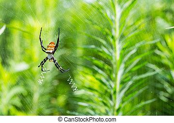 araignée guêpe, toile