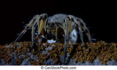 araignée loup, nuit