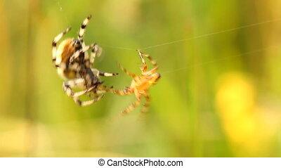 araignées, baston