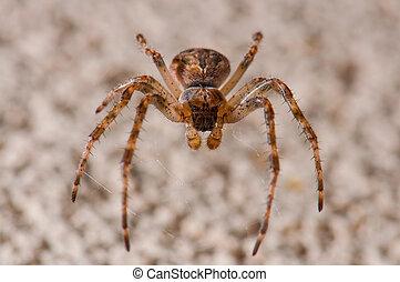 araignés, brun