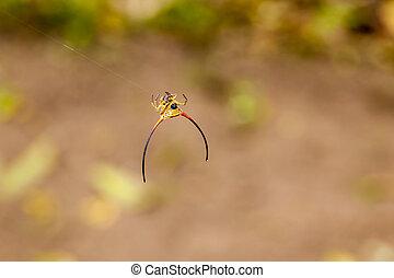 araignés, cornu