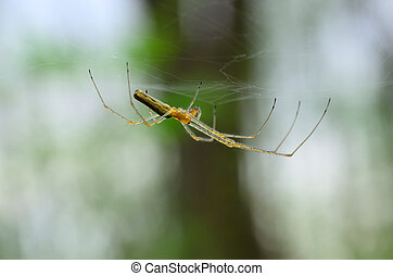 araignés, forêt, délicat