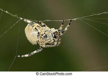 araignés
