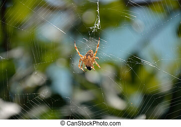 araignés, manger, victime